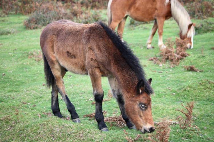Foal adolescent