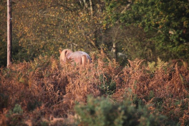 Pony and bracken