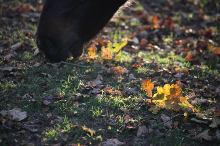 Oak leaf and pony