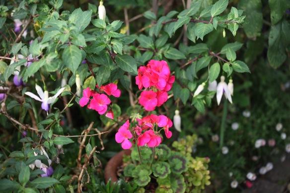 Pelargoniums 2