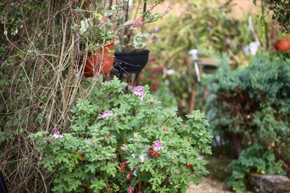 Pelargoniums 3