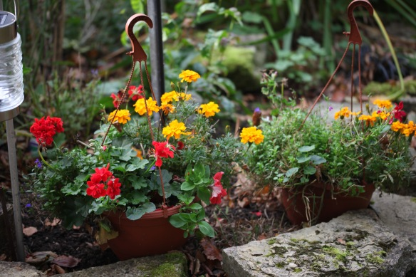 Pelargoniums and marigolds