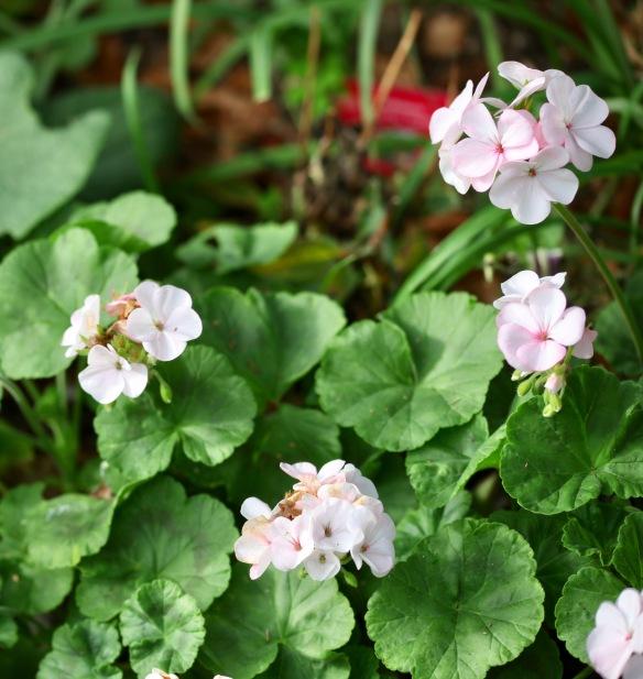 Pelargoniums 4