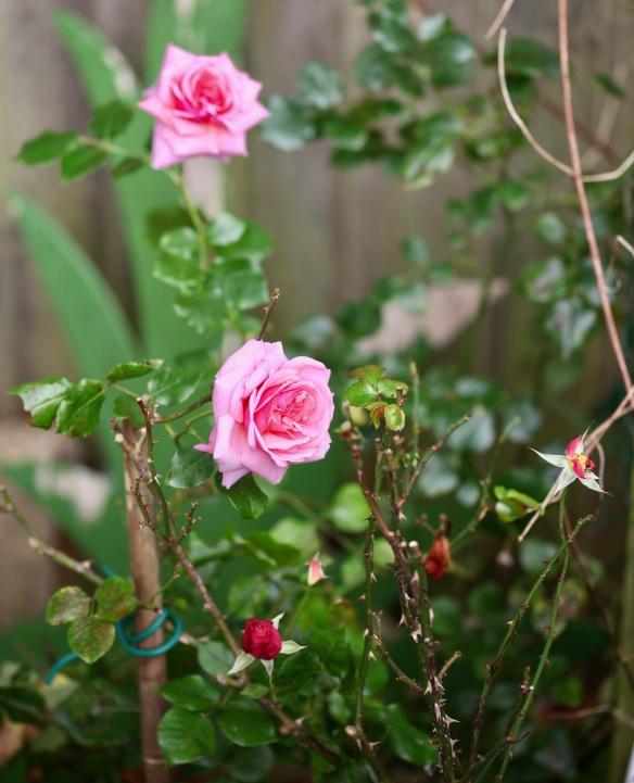 Rose Aloha
