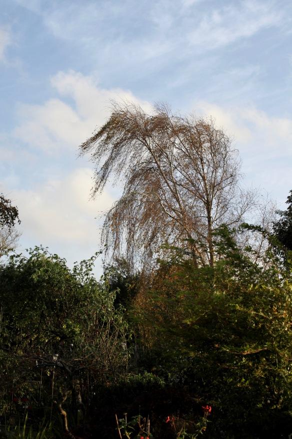 Weeping birch in wind 1