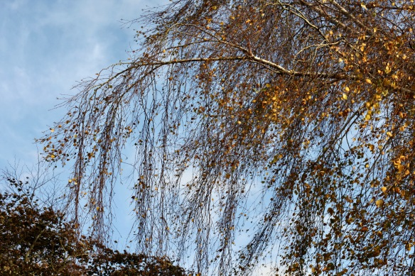 Weeping birch 2
