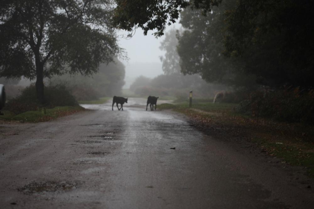 Calves following mother