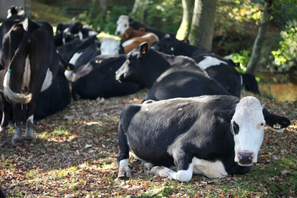 Cattle 3