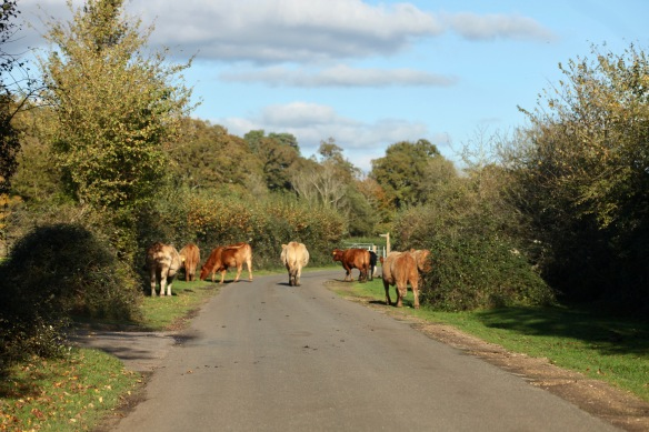 Cattle on road 1