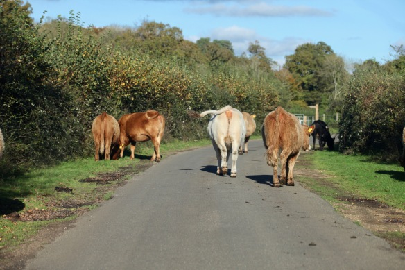 Cattle on road 2