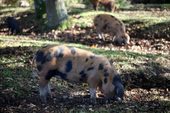 Pigs 5