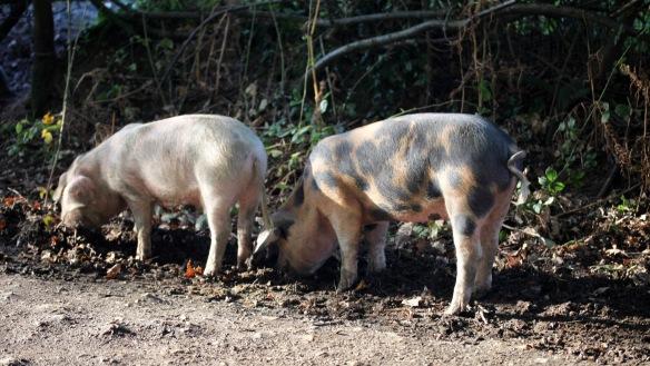 Pigs 6