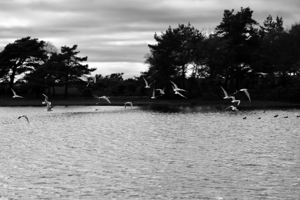 Gulls over Hatchet Pond