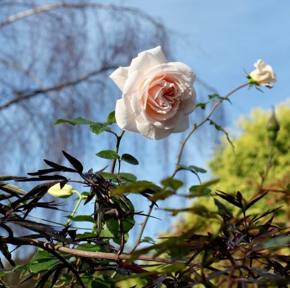 Rose Penny Lane 1