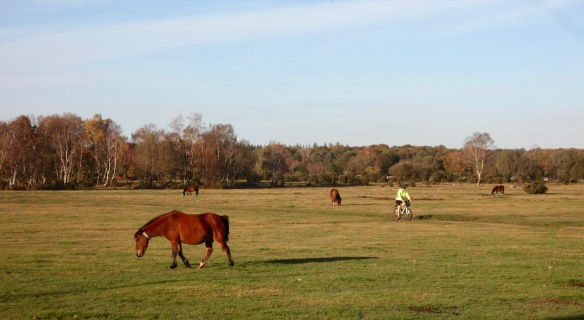 Ponies and cyclist on heath