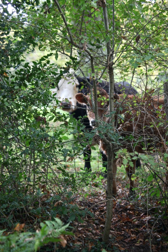Cattle peering through hedge