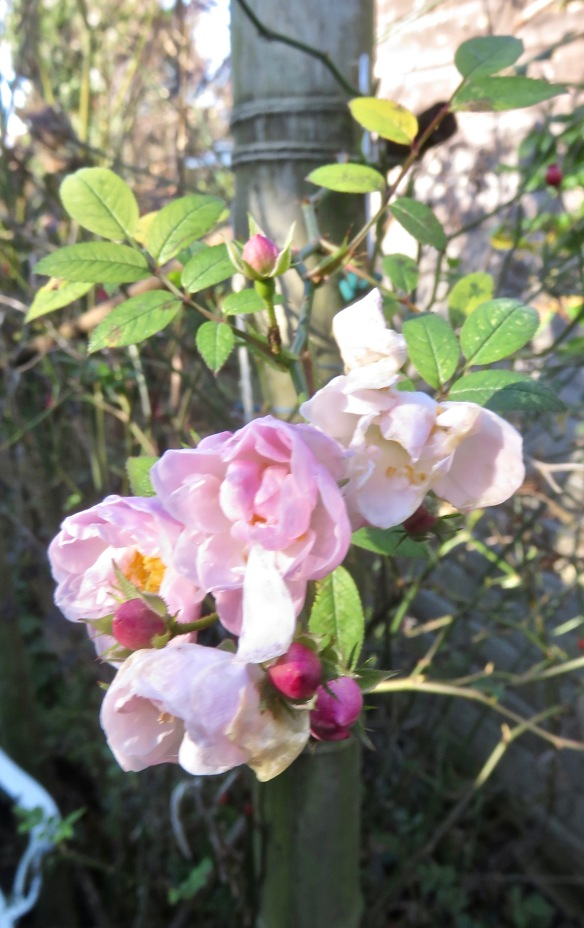 Rose Little Rambler