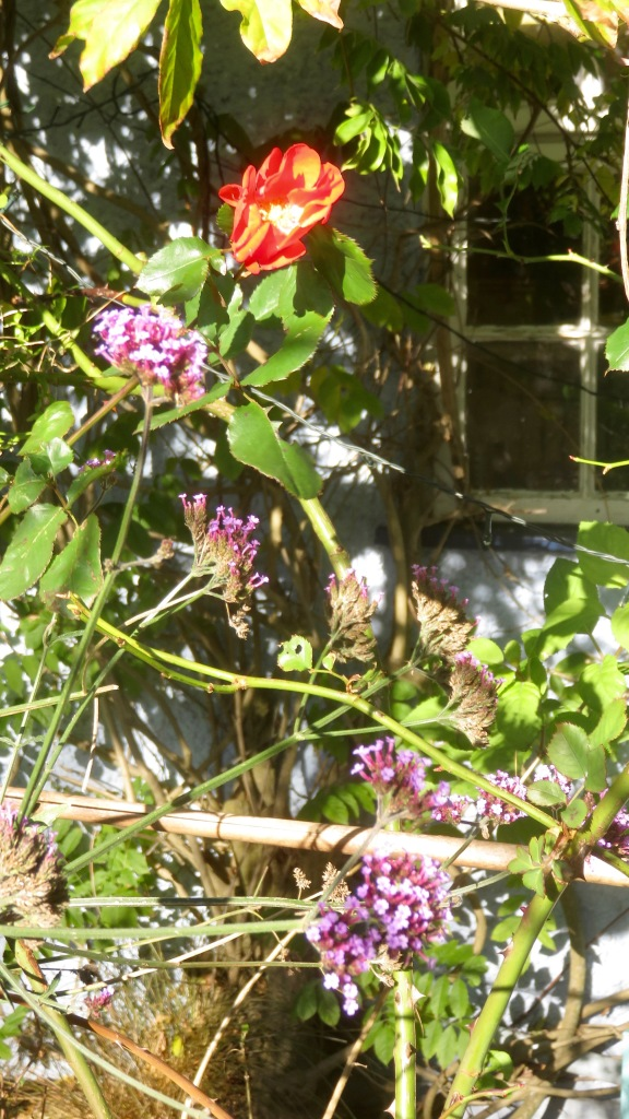 Verbena bonarensis and red climber
