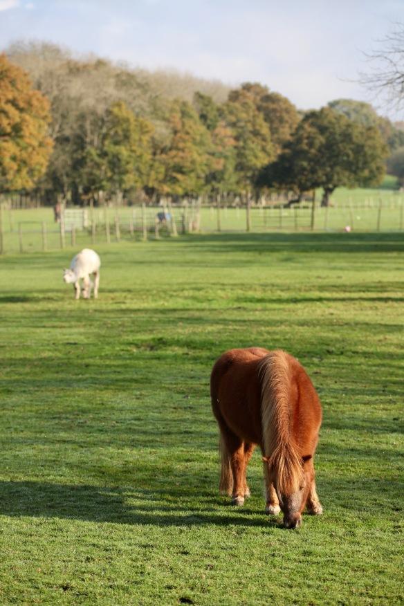 Pony and alpaca