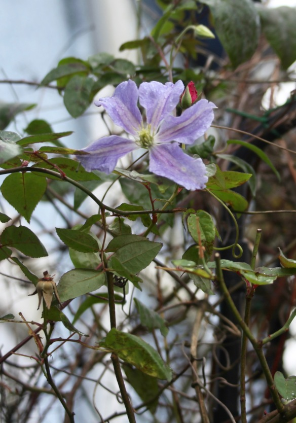 Clematis Mrs N. Thompson