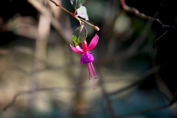 Fuchsia 2