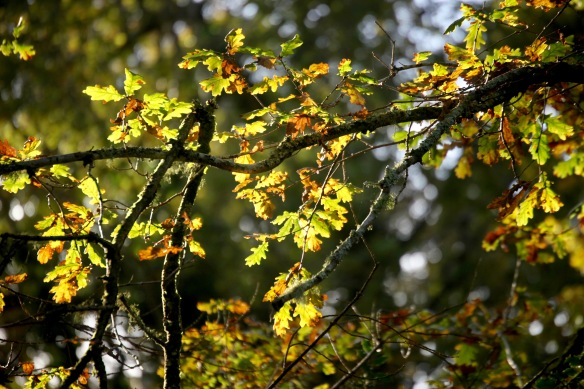 Oak leaves backlit