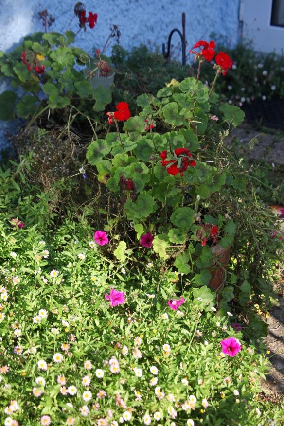 Pelargoniums, petunias, erigeron