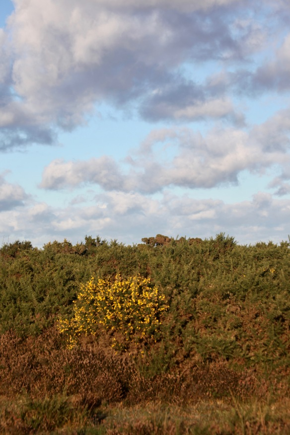 Landscape with gorse