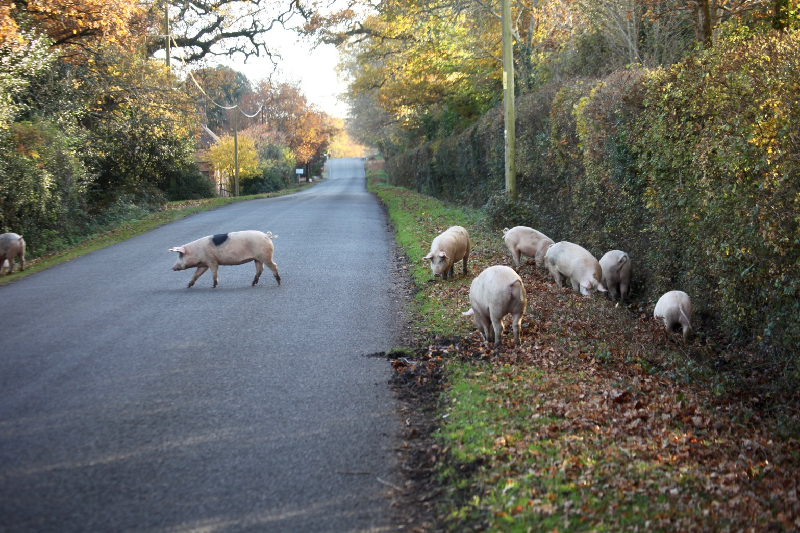Pigs on road 1