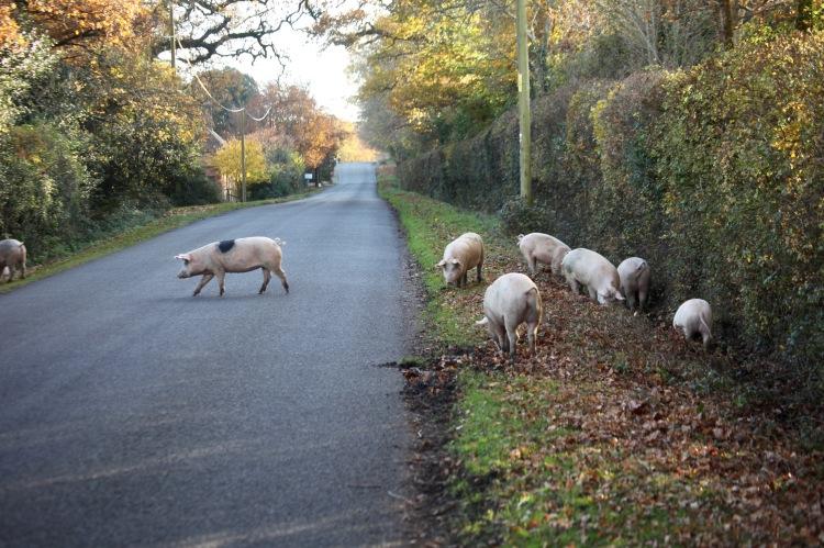 Pigs on road 1