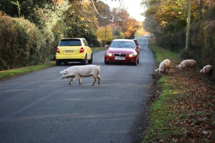 Pigs on road 2