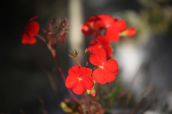 Pelargonium1