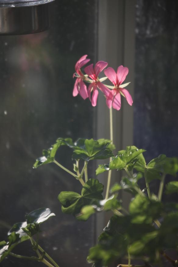 Pelargonium 2