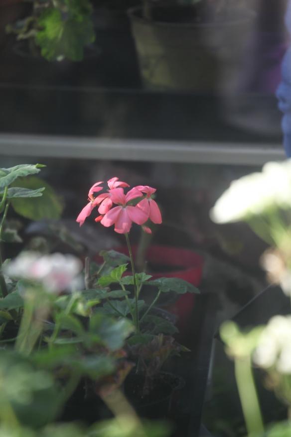 Pelargonium 3