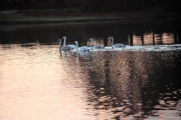 Swans with wake