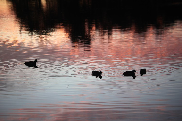 Sunset and waterfowl