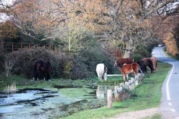 Ponies at poolside