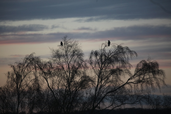 Birds silhouetted in trees