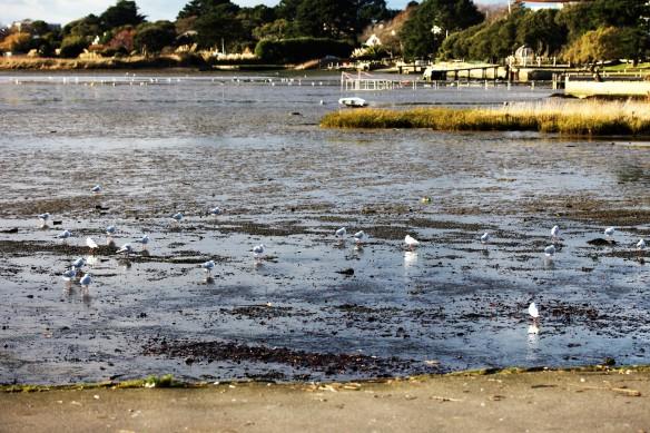 Gulls in shallows