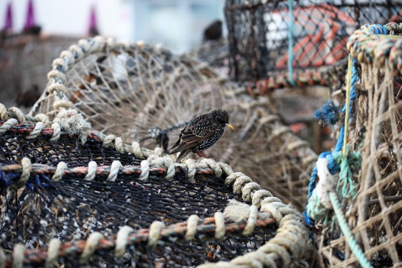 Starling on crab pot