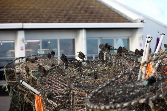 Starlings on crab pots