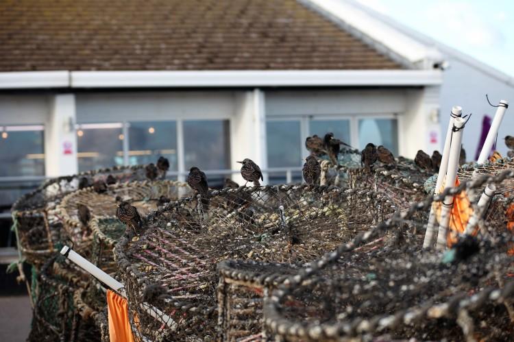 Starlings on crab pots