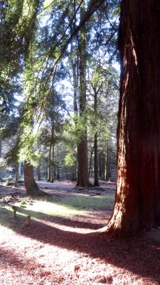 Sequoia and shadows 1