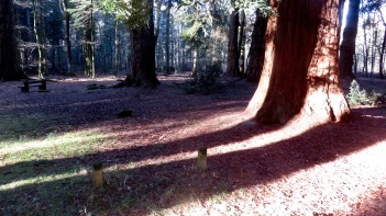 Sequoia and shadows 2