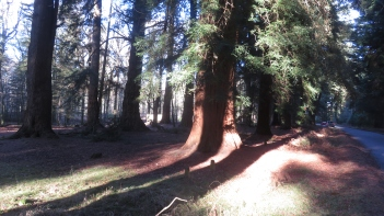 Sequoia and shadows 3