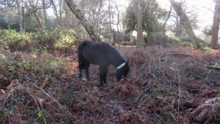 Pony in bracken 1