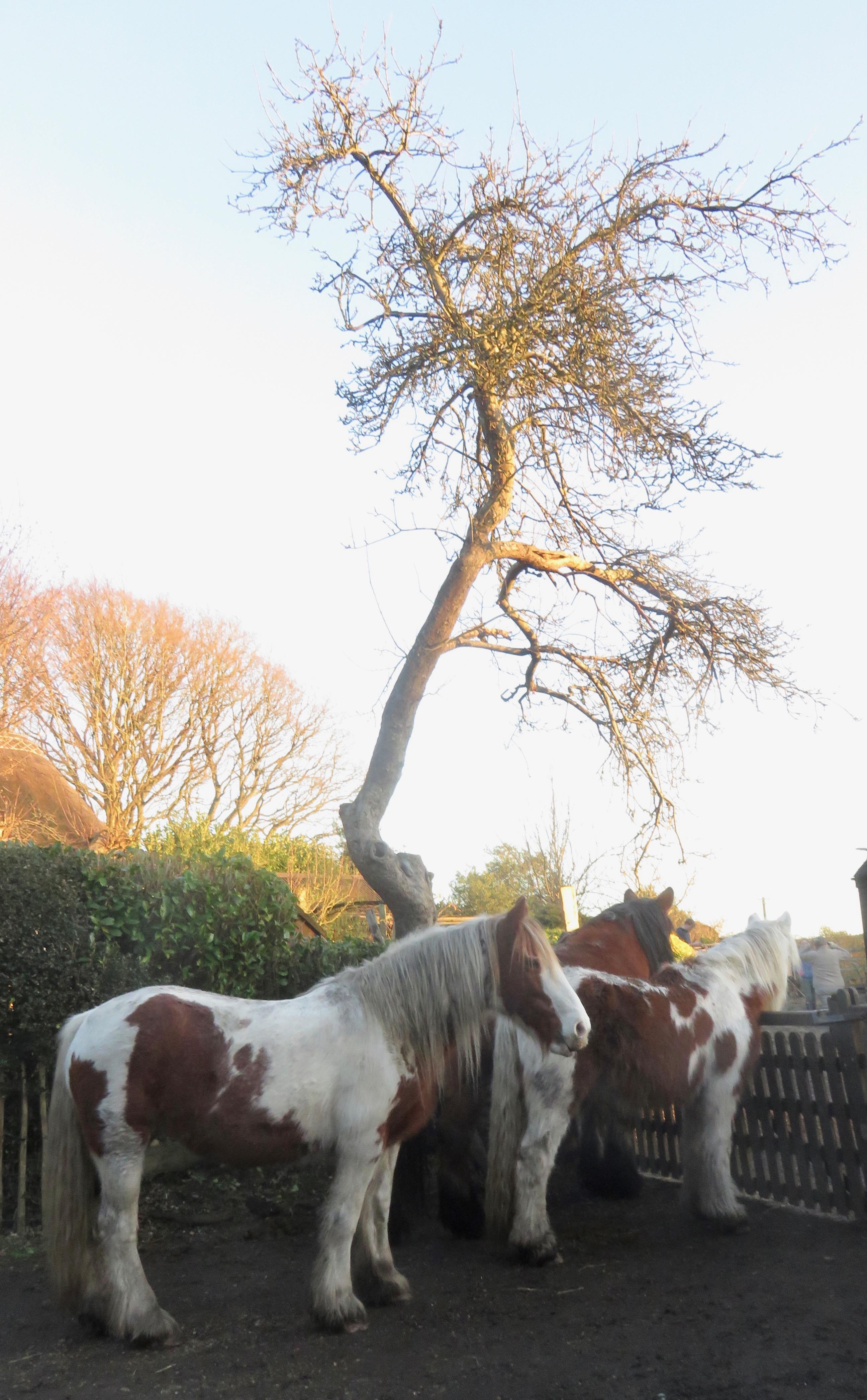 Farm horses waiting for tea