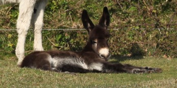 Donkey and foal 5 – Version 2