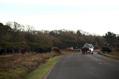 Cattle crossing road 1