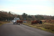 Cattle crossing road 2